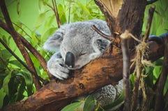 Koala som sover på filial Fotografering för Bildbyråer