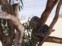 Koala som tillsammans drömmer Arkivfoto