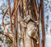 Koala som upp klättrar trädet i Australien Fotografering för Bildbyråer