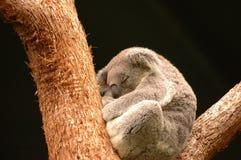 Koala somnolent Photographie stock