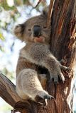 Koala somnolent sur une fourchette de branche d'arbre d'eucalyptus Photographie stock
