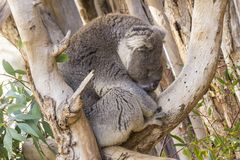 Koala sonnolenta in un albero che prende alcuno occhio chiuso Immagine Stock
