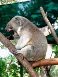 Koala sonnolento fotografia stock