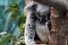 Koala sonolento Imagens de Stock Royalty Free