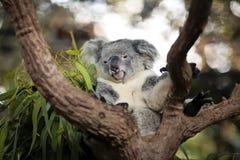 Koala sonolento em uma árvore fotos de stock