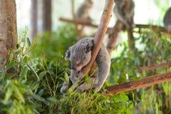 Koala sovande i ett träd arkivfoto