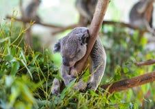 Koala sovande i ett träd arkivfoton