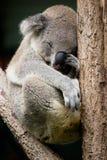 koala spała Zdjęcia Stock