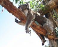 Koala stretching. Koala Bear takes a nap on a trunk.Victoria. Australia Stock Photos