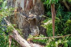 Koala suburbana Foto de archivo libre de regalías