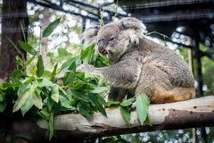Koala sul ramo Immagini Stock