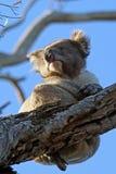 Koala sull'albero Fotografia Stock