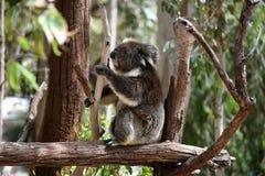 Koala sull'albero Fotografie Stock Libere da Diritti