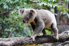 Koala sull'albero di eucalyptus Immagini Stock Libere da Diritti