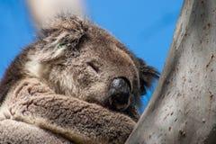 Koala sull'isola del canguro fotografia stock libera da diritti