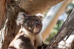 Koala sull'isola del canguro fotografie stock