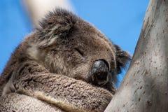 Koala sull'isola del canguro Immagini Stock Libere da Diritti