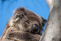 Koala sull'isola del canguro Fotografia Stock