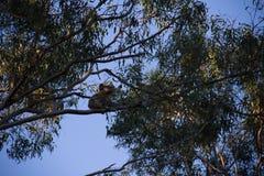 Koala sulla cima di un cibo dell'albero del eucalypt fotografia stock libera da diritti
