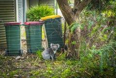 Koala sulla via Fotografia Stock