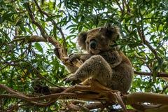 Koala sur l'arbre d'eucalyptus Photographie stock