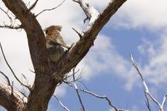 Koala sur le dessus d'arbre photographie stock libre de droits