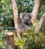 Koala sur un arbre Photographie stock