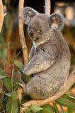 Koala sur un arbre Image libre de droits