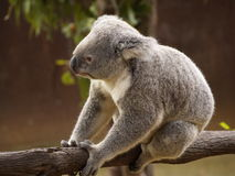 Koala sur un branchement Photo libre de droits