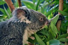 Koala sveglia che mangia eucalyptus su un ramo di albero fotografia stock libera da diritti