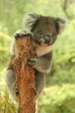 Koala sveglia sul ceppo di albero Immagine Stock Libera da Diritti