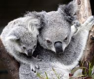 Koala sveglio Fotografie Stock Libere da Diritti