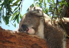 Koala takes a nap Royalty Free Stock Images