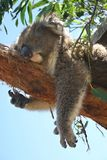 Koala takes a nap Stock Photography