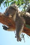 Koala takes a nap. Koala Bear takes a nap on a tree. Victoria. Australia Stock Photography