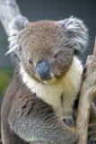 Koala, Tasmania, Australia. Koala looks down from the Eucaluptus tree, Tasmania, Australia royalty free stock images