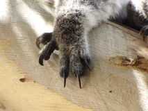 Koala-Tatze beim Schlafen im Baum Stockfoto