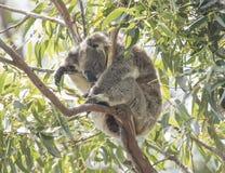 Koala at the top of an Australian gum tree. Royalty Free Stock Photography