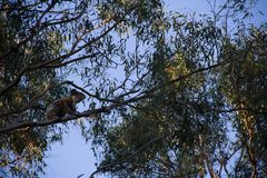 Koala on the top of a eucalypt tree. At afternoon cheeky australia bear climb animals treetop great ocean road forest gum marsupial leaf natural eucalyptus royalty free stock images