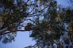 Koala on the top of a eucalypt tree eating. At afternoon cheeky australia bear climb animals treetop great ocean road forest gum marsupial leaf natural royalty free stock photo