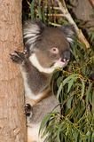 Koala On Tree Stock Photo