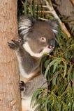 Koala On Tree. A Koala clings to the trunk of a tree Stock Photo