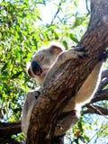 Koala in a Tree Royalty Free Stock Photography