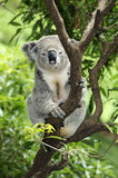 Koala in tree. Details of a Koala sitting in a tree. Species: Phascolarctos cinereus Royalty Free Stock Photo