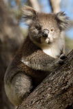 Koala on tree Stock Images