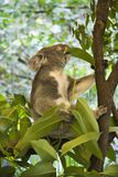 Koala in tree. Royalty Free Stock Photography