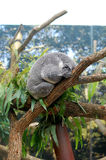 Koala on tree Stock Photography