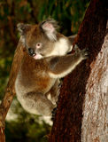 Koala in Tree Stock Photography