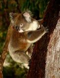 Koala in Tree. Koala sitting in an Eucalyptus Tree, Australia, Close Up stock photography