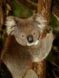 Koala in Tree. Koala sitting in an Eucalyptus Tree, Australia, Close Up royalty free stock images